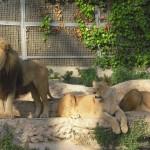 Löwen Zoo Paris