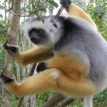 Lemuren Zoo Paris Vincennes