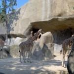 Zoo Vincennes Giraffen